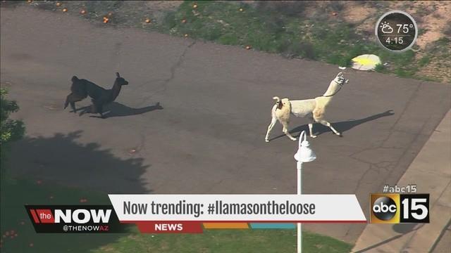 LlamasOnTheLoose_2645430000_14043345_ver1.0_640_480 the runaway llama nicolas cage and jessica biel movie